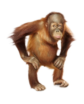 Puppies Hairless Orangutan Photos PNG images
