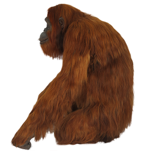 Red Orangutan Standing To The Side Image PNG images