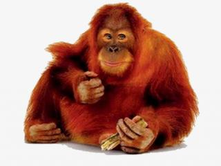 The Red Side Facing Orangutan Pictures Image PNG images