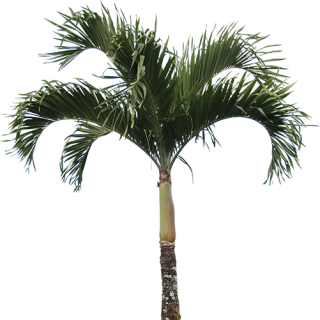 High Quality Real Palm Tree Png PNG images