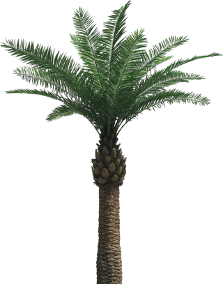 One Palm Tree Png PNG images