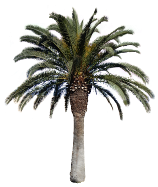 Palm Big Png With Alpha Tree PNG images