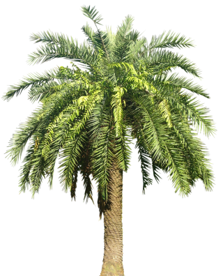 Palm Plant Png Image PNG images
