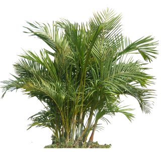 Palm Plant Png The Areca Palm PNG images
