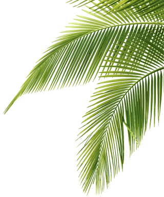 Palm Tree Leaf Png PNG images