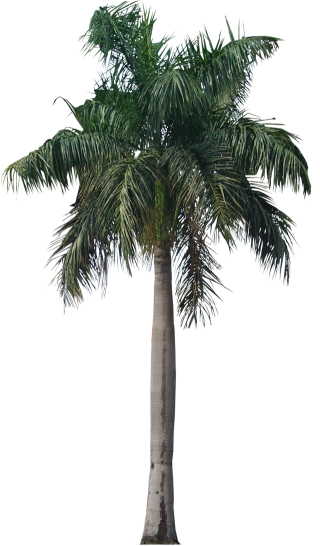 Palm Tree Png Photo PNG images