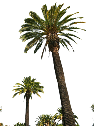 Palm Trees Hd PNG PNG images