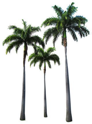 Palm Trees Transparent Hd Png PNG images