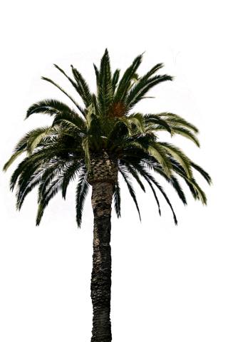 Real Palm Tree Transparent Png PNG images