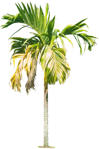 Royal Palm Tree Hd Png PNG images