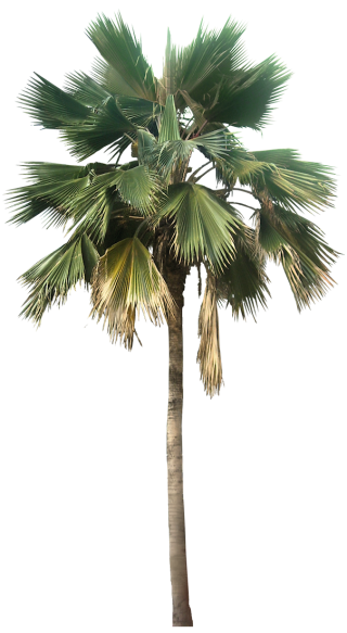 Transparent Palm Tree Great Looking Desert Plants Png Image PNG images