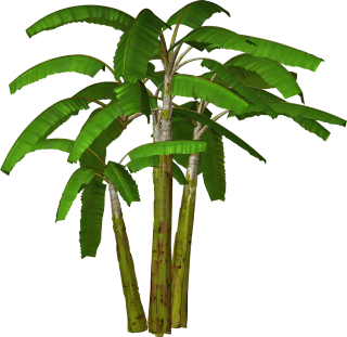 Palm Tree Transparent Background PNG images