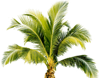 Vectors Download Palm Tree Icon Free PNG images
