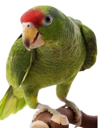 High Resolution Parrot Png Clipart PNG images