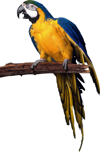 PNG Parrot Picture PNG images