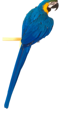 Png Parrot Best Collections Image PNG images