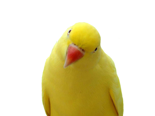 Parrot PNG File PNG images