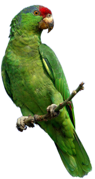 Parrot Photo PNG PNG images