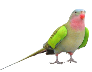 Parrot PNG Clipart PNG images