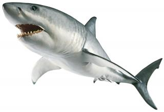 Transparent Shark Png PNG images