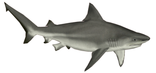 Download And Use Shark Png Clipart PNG images