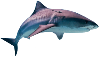 Shark Attack Png PNG images