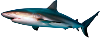Shark PNG Transparent Photo PNG images
