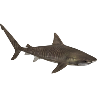 Tiger Shark Png PNG images
