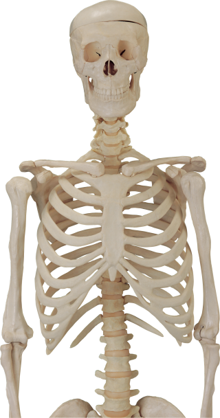Download Free Png Vector Skeleton PNG images