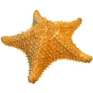 Download Images Png Starfish Free PNG images