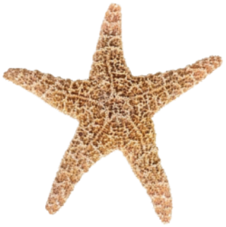 Designs Starfish Png PNG images