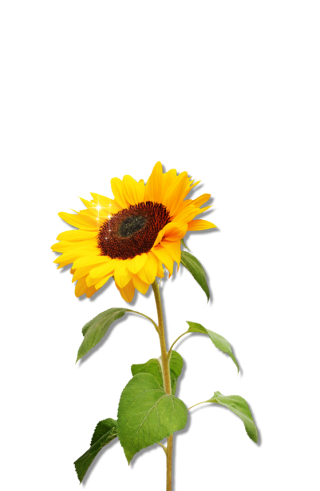 Clipart Sunflower Png Download PNG images