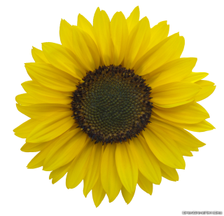 Download Sunflower Images Free PNG images