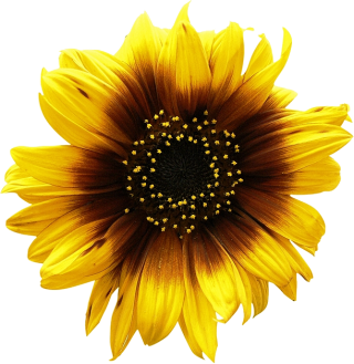 Get Sunflower Png Pictures PNG images
