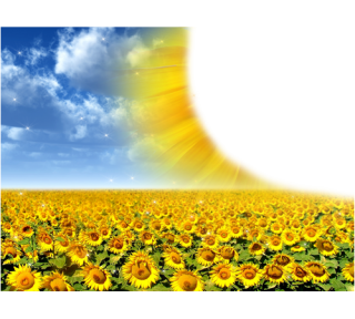 High Resolution Sunflower Png Clipart PNG images