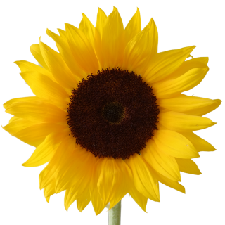 Icon Free Download Sunflower Vectors PNG images