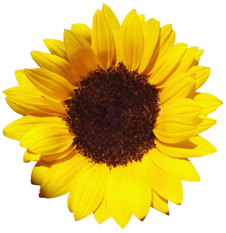 Free Download Of Sunflower Icon Clipart PNG images