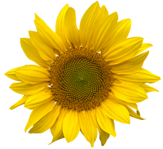 Sunflower Collection Png Clipart PNG images