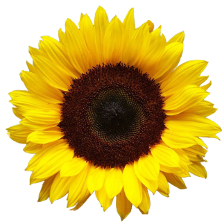 Hd Png Background Transparent Sunflower PNG images