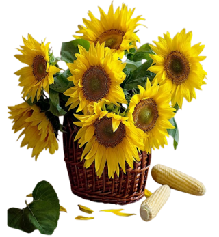 Sunflower Png Available In Different Size PNG images