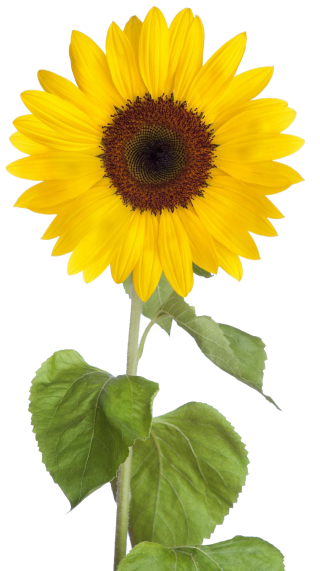 Free Download Sunflower Png Images PNG images