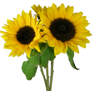 Picture PNG Sunflower PNG images