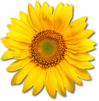 Download Sunflower Latest Version 2018 PNG images