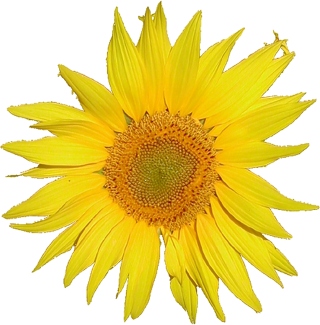 Browse And Download Sunflower Png Pictures PNG images