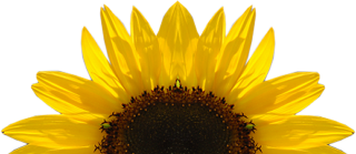 Download Free High-quality Sunflower Png Transparent Images PNG images