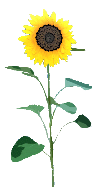 Sunflower Png Designs PNG images