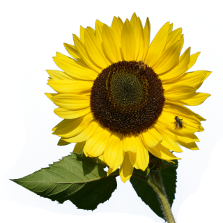 Download And Use Sunflower Png Clipart PNG images