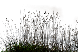 Gallery Tall Grass Png PNG images