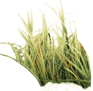 Photo Of Tall Grass Png PNG images