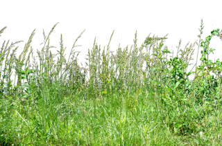Tall Grass Background Image PNG images